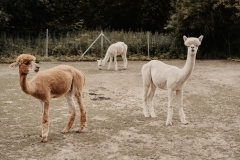 lapakatal-familienshooting-mit-alpakas-fotos-von-aline-egerding-fotografie15